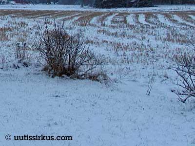 pensas lumen juuri ja juuri peittämän pellon laidalla