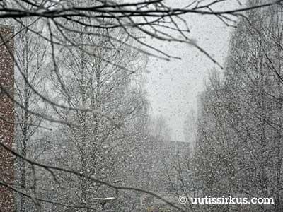 lunta satelee lehdettömien koivujen edessä