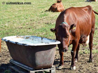 Lehmä kylpyammeesta tehdyn juoma-altaansa ääressätaan