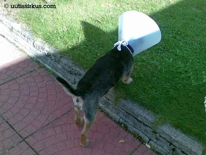 pieni koira kulkee nurmikolla raapimisenestokaulus päässään