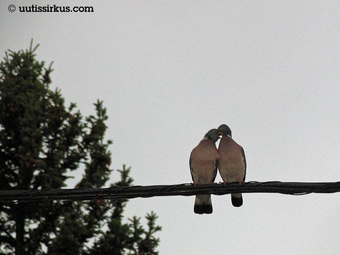 kaksi pulua istuu vierekkäin saähkölangalla