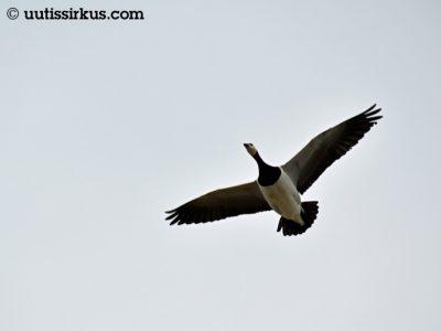 valkoposkihanhi lentää