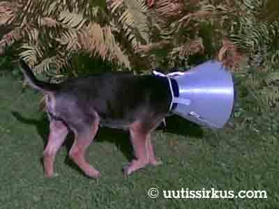 Koira on suden sukulainen, mutta arkistokuvamme koira ei liity tapaukseen.